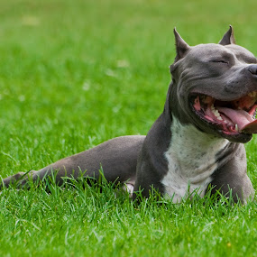 Happy Pup by Hiram Christian - Animals - Dogs Portraits ( smiling happy dog pitbull park resting panting,  )