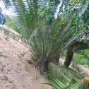 Cycads of Mpanga