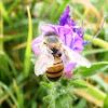 Western honey bee. Abeja europea