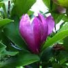 Saucer Magnolia or Tulip Tree