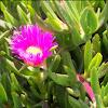 Pink Ice Plant Flower