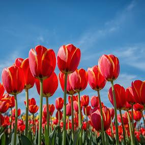 Tulip Festival, Melbourne by Zubair Aslam - Flowers Flower Gardens ( colorful, color, melbourne, colors, tulip, tulips, flowers, flower,  )