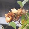 Hawaiian Baby Woodrose, Adhoguda अधोगुडा or Vidhara विधारा (Sanskrit), Elephant Creeper and Woolly Morning Glory.