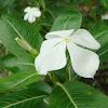 White Tsitsirika