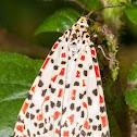 Heliotrope Moth