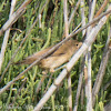 Reed Warbler; Carricero Común