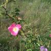 Gebirgs-Rose/Alpine rose