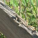 Coast Range Fence Lizard