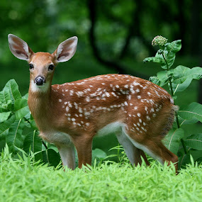 Fawn by Ken Keener - Animals Other ( babies, white spots, whitetail, baby, deer,  )