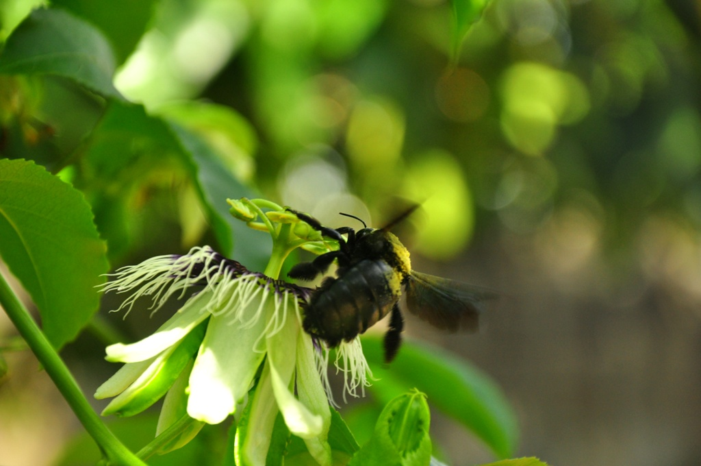 Carpenter bee (female)
