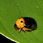 Ruteline Scarab Beetle