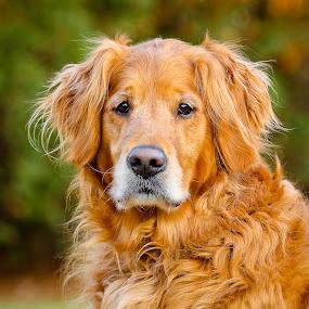 Kip by Paul Brown Jr. - Animals - Dogs Portraits ( old dog, dog, golden, golden retriever, , #GARYFONGPETS, #SHOWUSYOURPETS )