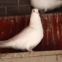 Domestic rock dove (domestic pigeon) - Release dove
