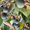 Passionfruit or Maracuya