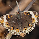 Blue Pansy - female