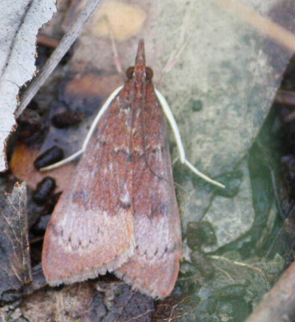 Tree Lucerne Moth  (eastern form)