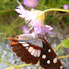 Southern White Admiral Butterfly / Plavi admiral