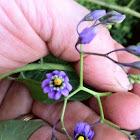 Bittersweet Nightshade Flower