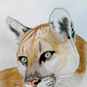 Mountain Lion by Paul Murray - Drawing All Drawing ( pencil, sketch, cougar, oil based, mountain lion, drawing )