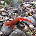 Eastern Red Newt, Red Eft.
