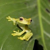 Tree Frogs Live Wallpaper