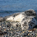 Harbour Seal - Pup