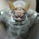 The Wrinkle-faced Bat