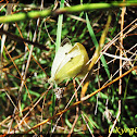 Large White, Cabbage Butterfly, Cabbage White