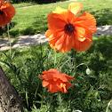 "Poppy ""Prince of Orange"""