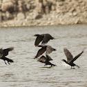 Cormorán, neotropic cormorant