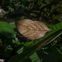 Leaf butterfly