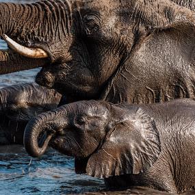 Thirsty Elephants by Johan Jooste Snr - Animals Other Mammals ( mammals, water, animals, elephant, thirsty, drink, namibia, waterhole )