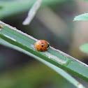 Orange Ladybug