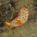 Orange-spotted gymnodoris nudibranch