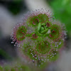 Leafy Sundew