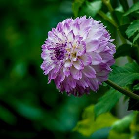 Beauty by Sharon Wills - Flowers Single Flower ( south australia, adelaide botanical gardens, purple, plants, flowers,  )