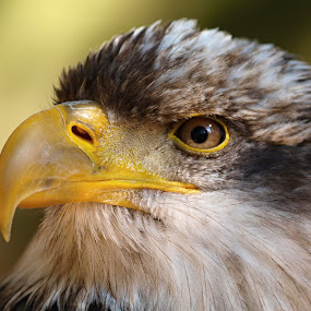 White-tailed Eagle by Jiri Reisser - Animals Birds (  )