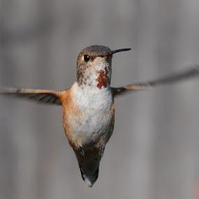 Little Floater by Ed Hanson - Animals Birds ( bird, nature, close-up )