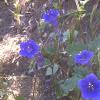 Desert Bluebell
