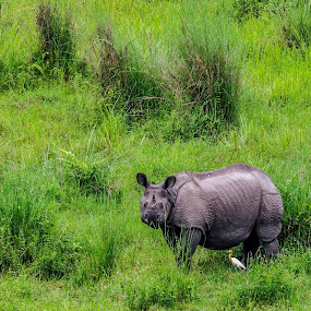 The single Horn Rhino in Gorumara National Park by Dilip Ghosh - Animals Other Mammals
