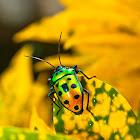 Metallic shield bug