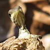 Striped basilisk, juvenile