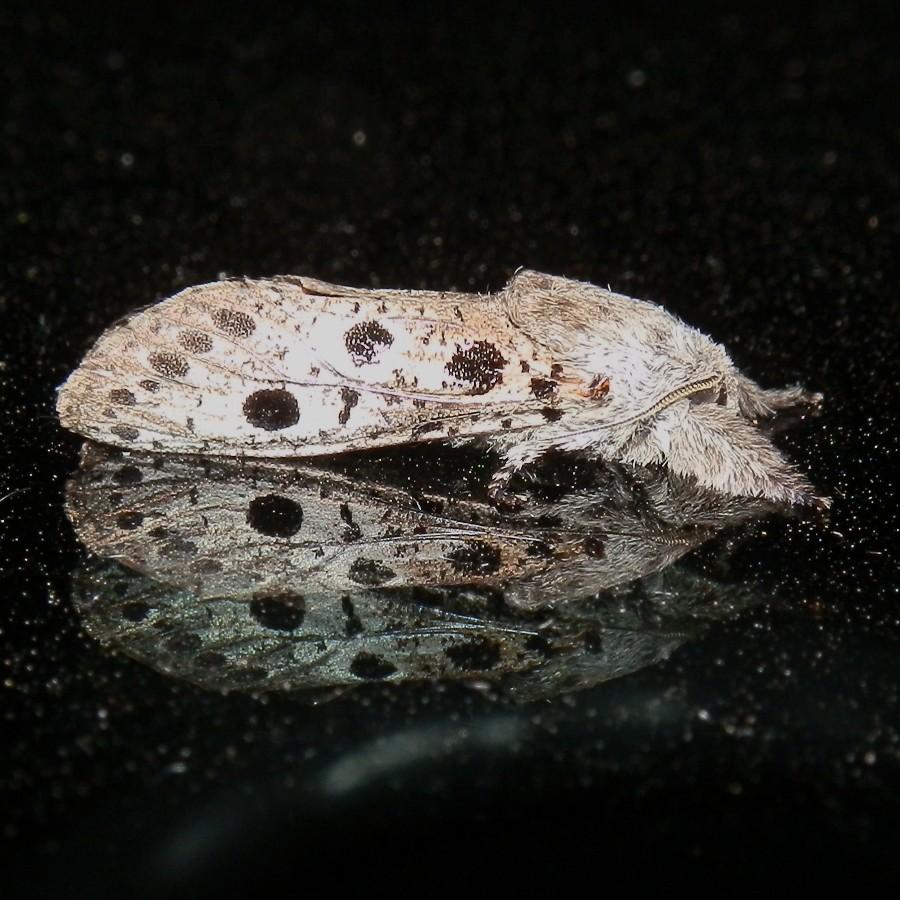 Cossid Moth 5- male