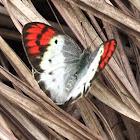 Indian Crimson Tip (female)