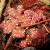 Balanophora - Vegetative Growth