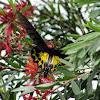 Common Birdwing female