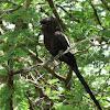 Magpie Shrike/African Long-tailed Shrike