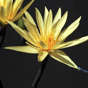 Yelow Water Lilies and Blue Damselly by Sandra Blair - Flowers Flower Gardens ( nature, lily, damselfly, insect, flower,  )