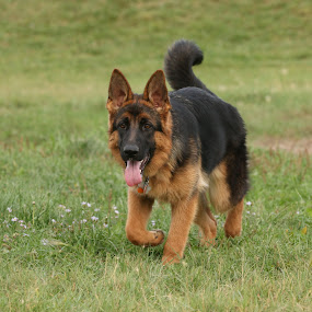 German Shepherd pup by Karin Bennett - Animals - Dogs Playing ( playing, dogs, puppy, german shepherd )