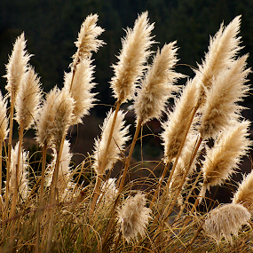 Pampas Plumes by Laddy Kite - Nature Up Close Leaves & Grasses
